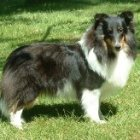 tri colored sheltie female