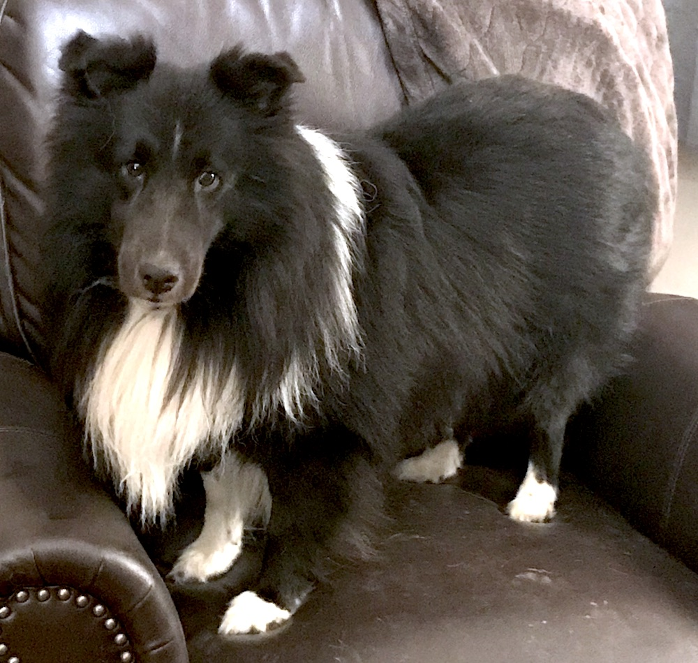 bi black sheltie dog