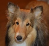 prick sheltie ears