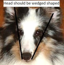 how a sheltie head looks