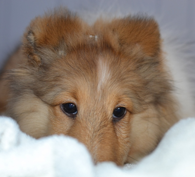 sheltie ears positioned with glue