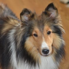healthy sheltie puppies for sale in delaware. Black Bedroom Furniture Sets. Home Design Ideas