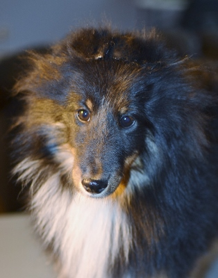 weighted glued sheltie ears