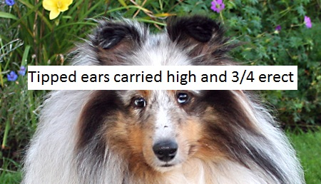 tipped sheltie ears