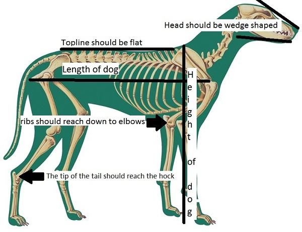 dog structure