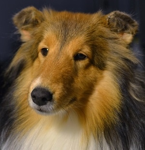 glued sheltie ears