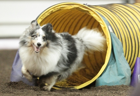blue merle sheltie in agility tunnel