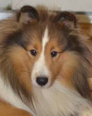 sable & white sheltie