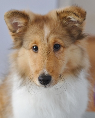 sheltie ears