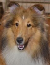sable shetland sheepdog