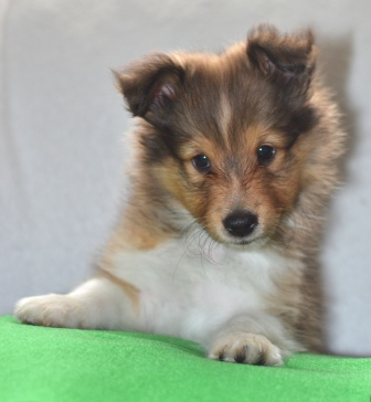 cute sable sheltie