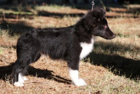 bi black sheltie pup