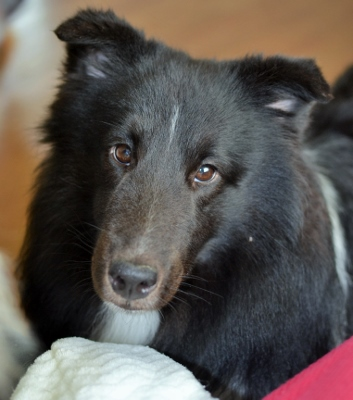 bi-black sheltie