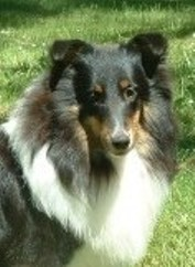 tri-colored sheltie girls