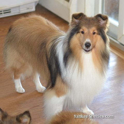 sheltie groomer at your service in newark delaware. Black Bedroom Furniture Sets. Home Design Ideas