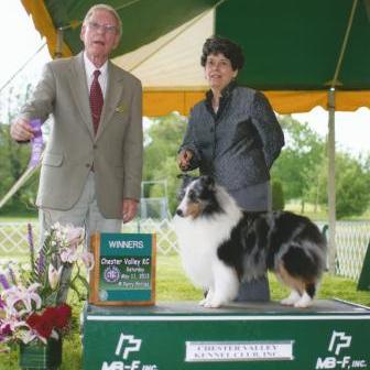blue merle show dog