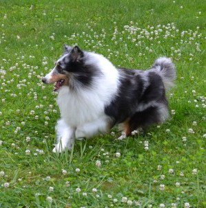 Blue Merle Shetland Sheepdog Puppies Sale