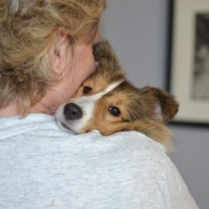 sheltie held by mom
