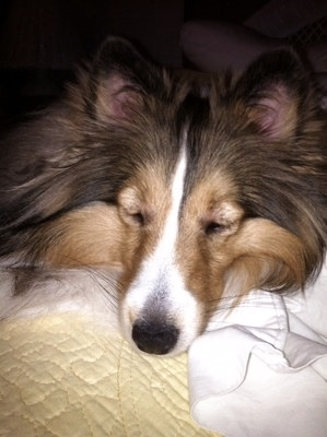 sheltie with allergic reaction
