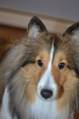 sheltie before allergic reaction