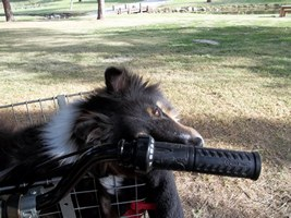 tricolor sheltie on bike