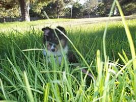 tricolor sheltie in grass