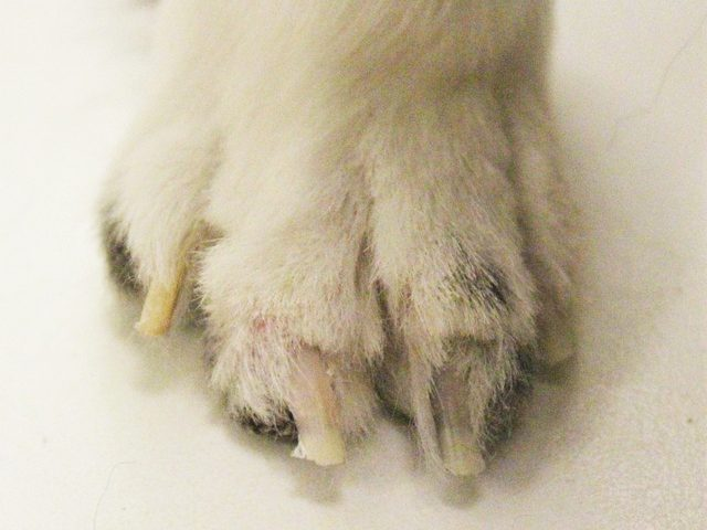 poorly trimmed feet and nails on sheltie