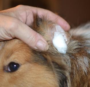 cleaning sheltie ears