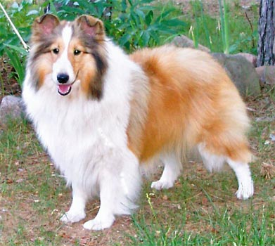 light sable sheltie