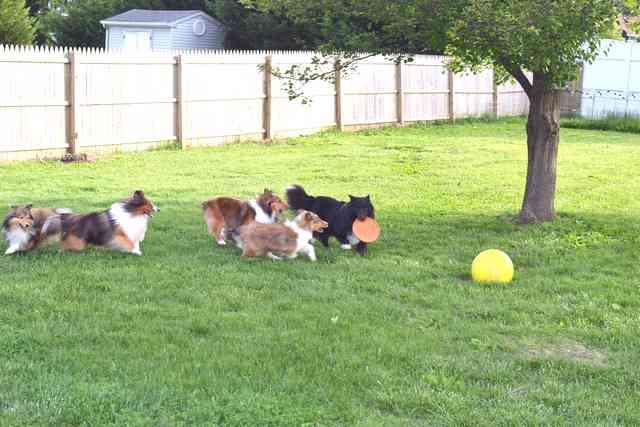 shelties outside playing