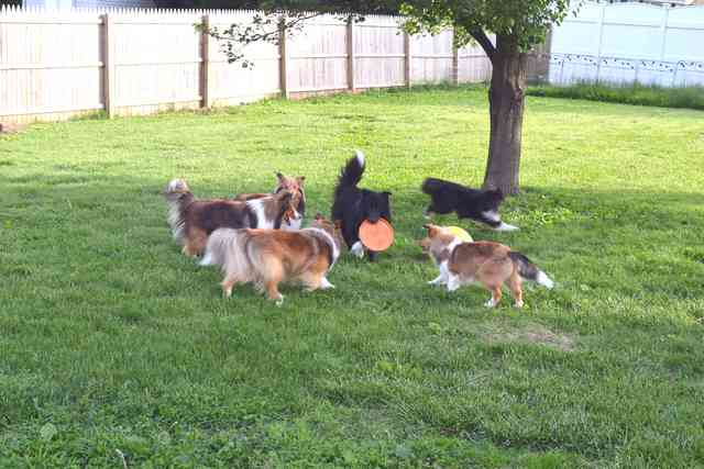 taking care of shelties for owners