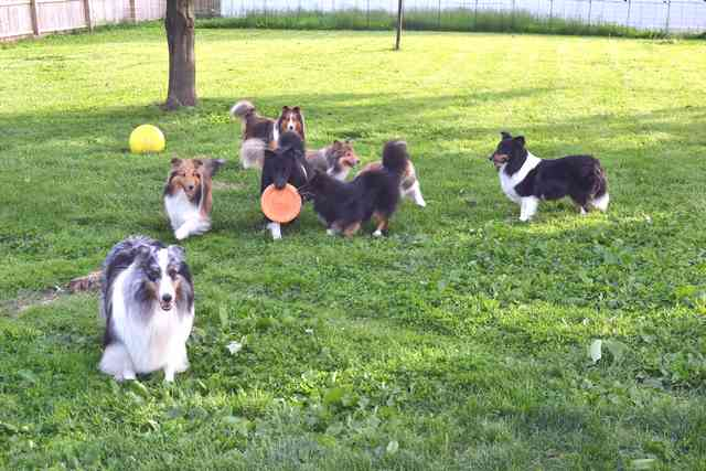 daycare for dogs at Yankee Shelties