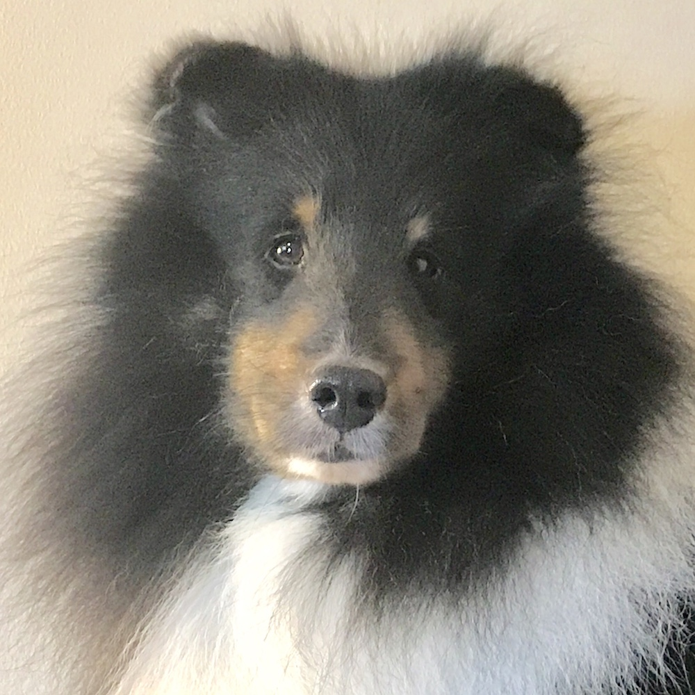 Tri-Color Sheltie Yankee's Black Gold -