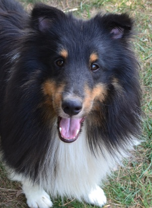 a tri color sheltie
