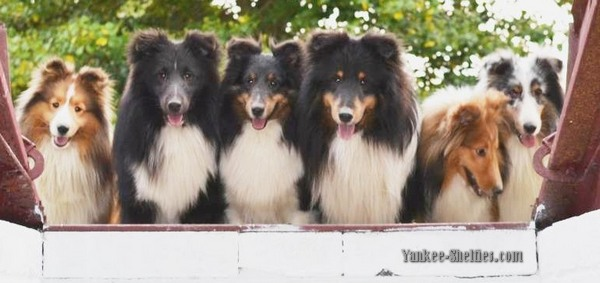 lots of shelties lined up