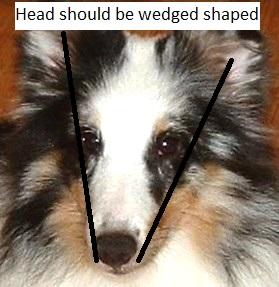 how a sheltie head looks