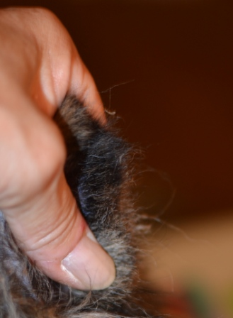 Trimming sheltie ear