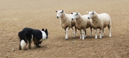 herding trials