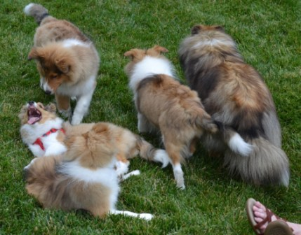 pack of sheltie pups