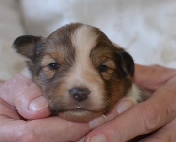 2 week old sheltie puppy
