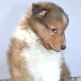 Yankee Shelties Breeding Quality Shetland Sheepdogs