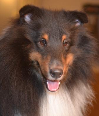 Tri colored Sheltie dog