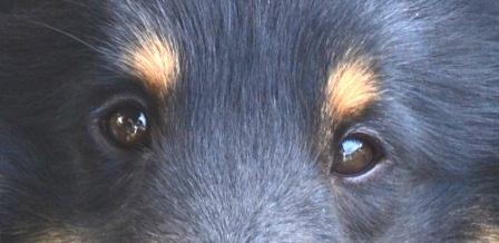 Eye Exams for Breeding Dogs