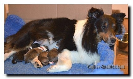 shelties in whelping box