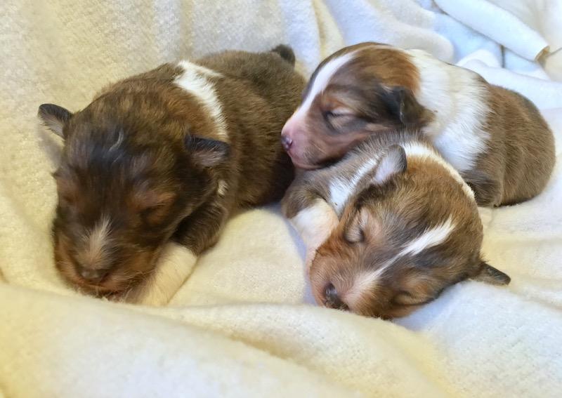 newborn sheltie puppy litter