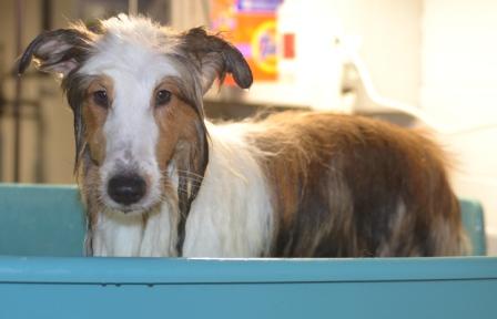 Sheltie getting a bath