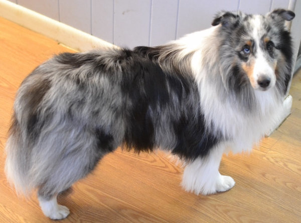 how d that blue merle sheltie get that way