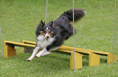sheltie jumping obstacle