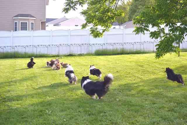 dog daycare at Yankee Shelties