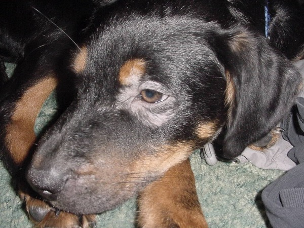 localized mange in dog